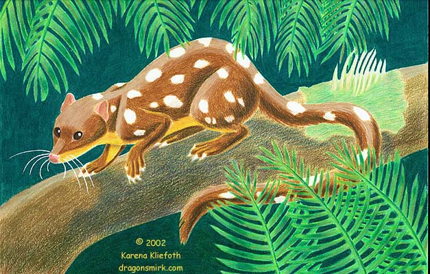Spotted quoll.